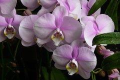 Phalenopsis rose - Orchidées