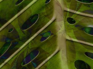 Surimpression de feuilles de philodendron et schefflera
