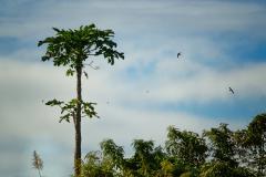 Papayer sur fond de ciel