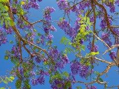 Jacaranda - branches et feuilles