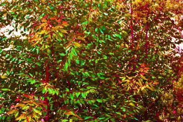 Arrière-plan végétal - Feuillage d'eucalyptus