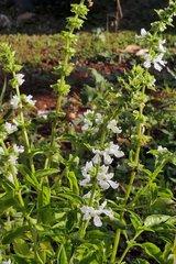 Basilic en fleurs