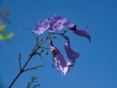 Fleurs de jacaranda sur ciel bleu