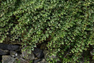 Feuilles de lierre recouvrant un mur de pierre