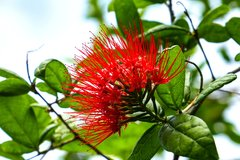 Fleur de petit badamier