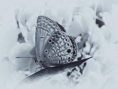 Papillon sur une feuille - noir & blanc
