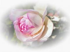 Rose au jardin