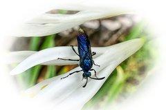 Mouche bleue sur une fleur blanche