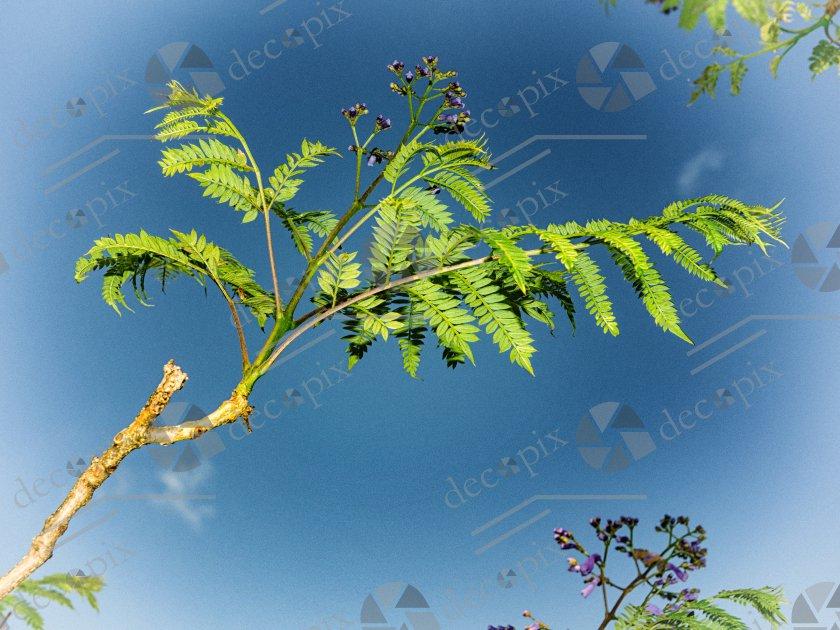 Jacaranda - feuilles sur ciel bleu