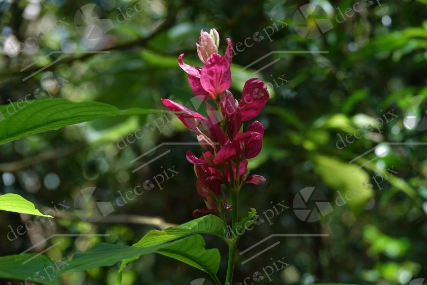 Fleur de megaskepasma erythrochlamys