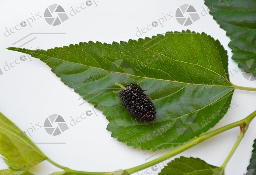 Mûre noire et feuilles de mûrier sur fond blanc