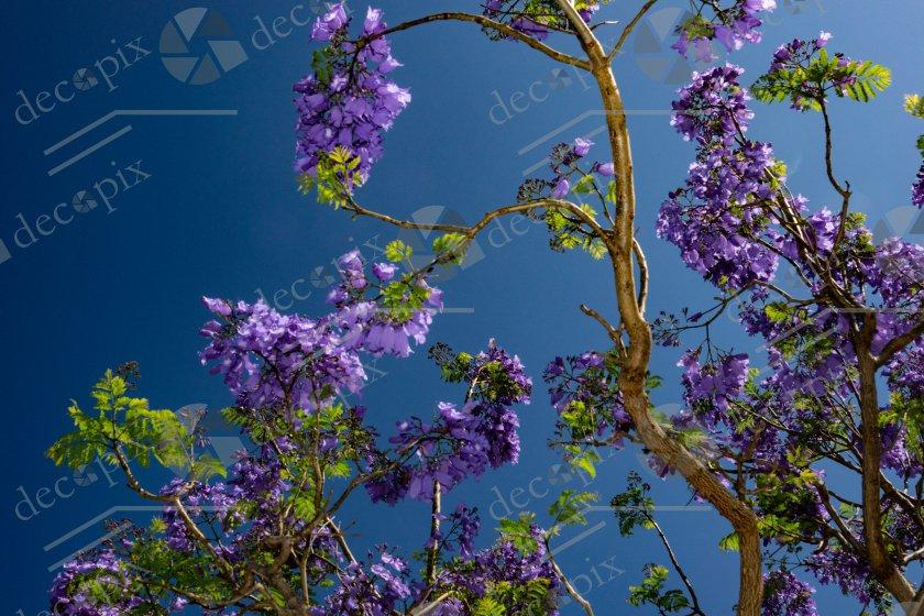 Jacaranda - branches fleurs et feuilles sur ciel bleu