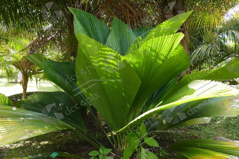 Palmier fougère ou palmier Joe