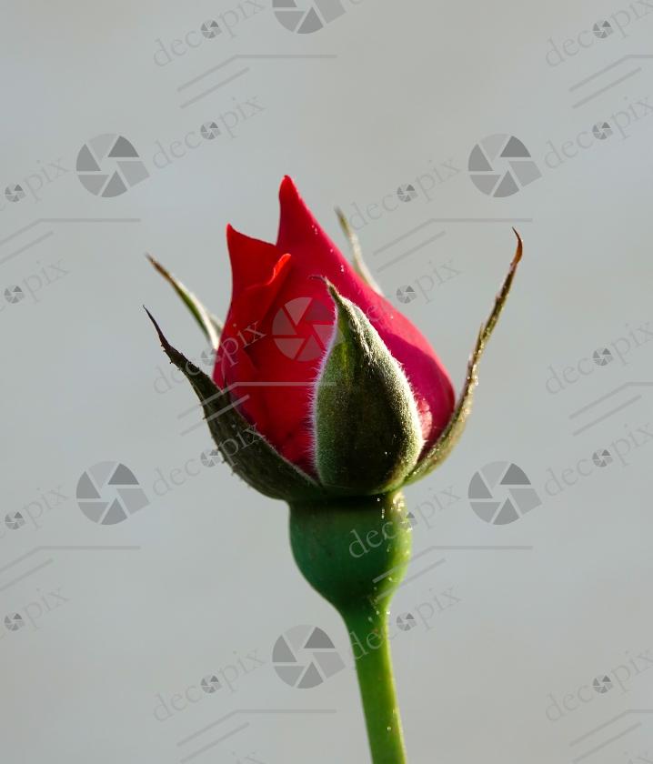 Bouton de rose en gros plan