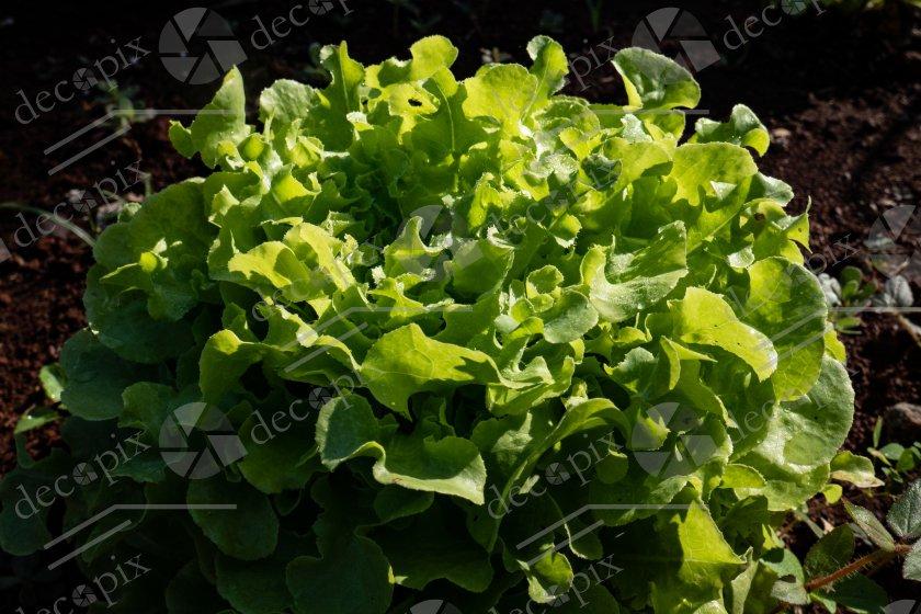 Salade verte en terre