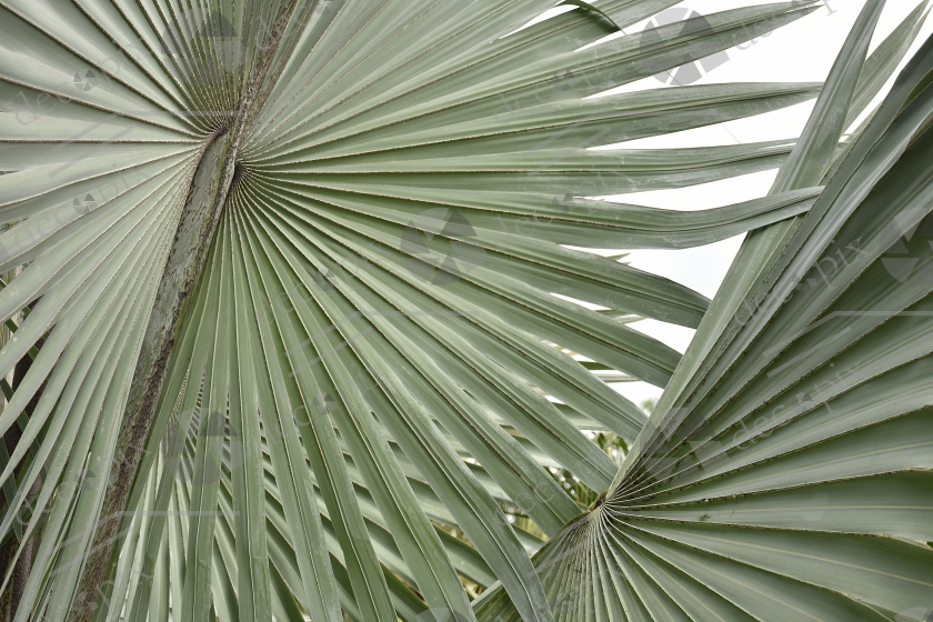 Feuillage de palmier Bismarckia nobilis
