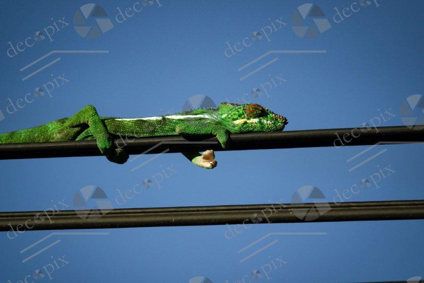 Endormi sur un câble de téléhpone
