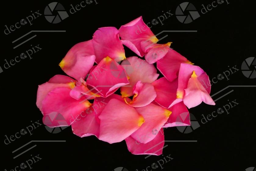 Pétales de rose sur fond noir