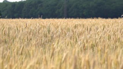 Légère brise dans des épis de blé mûrs
