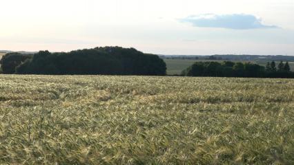 Champ de céréales au coucher du soleil