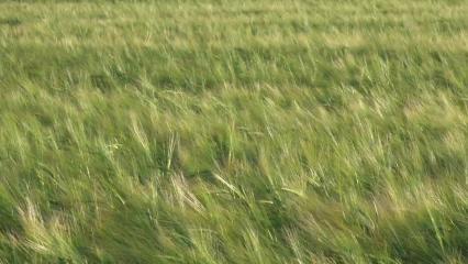 Epis de céréales verts balayés par le vent