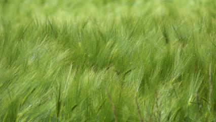 Epis d'orge verts balayés par le vent
