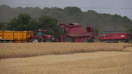 Déversement du blé fauché dans une trémie