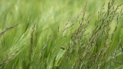 Epis verts de céréales balayés par le vent