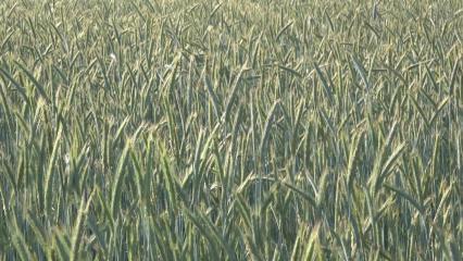 Epis de blé verts balayés par le vent