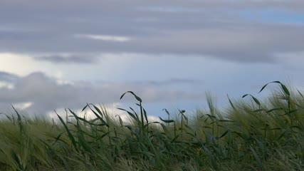 Champ de céréales au crépuscule